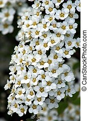 Spiraea Grefsheim blooming with white flowers