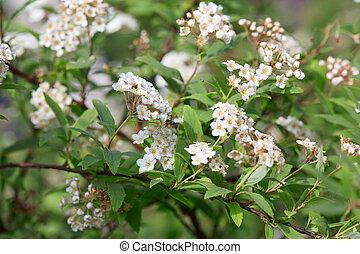 Spiraea vanhouttei, bridal flowers