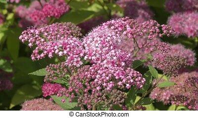 Spirea flower pink in the summer garden.