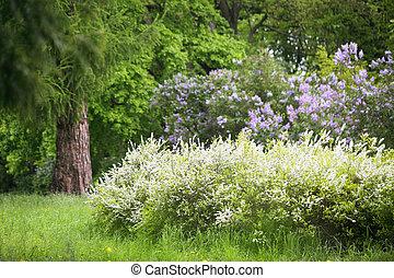 spirea, jardin, lilas, composition