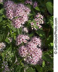 spirea, (spiraea, japonica), blomningen