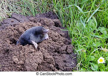 spirng mole  and molehill in the garden