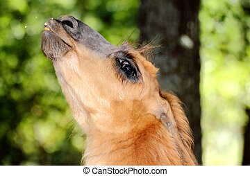 spitting llama - domesticated llama spitting towards the ...
