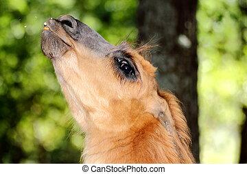 spitting llama - domesticated llama spitting towards the...