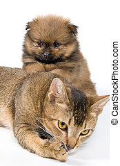 spitz-dog, 子犬, 子ネコ