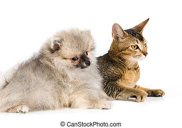 spitz-dog, chiot, chaton