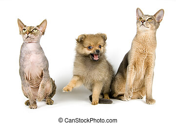 spitz-dog, katzen, junger hund