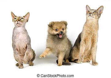 spitz-dog, koty, szczeniak