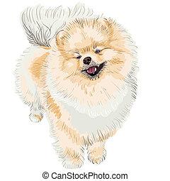 spitz dog smiles - pedigreed dog German Toy Pomeranian is...