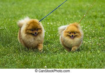 Spitz. Pomeranian run in grass field, Dog running