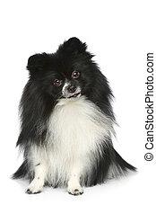 spitz, weißes, hintergrund,  Pomeranian, Sitzen
