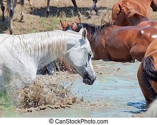 splashing arabian horse in the lake among herd.