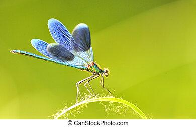 splendens), esterno, libellula, (coleopteres
