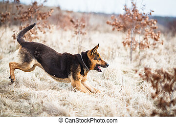 Splendid German Shepherd dog running outdoors