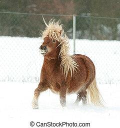 splendido, pony shetland, con, lungo, criniera, in, inverno