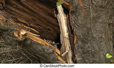 Split Tree Trunk Base - Handheld, tilting up, close up shot...