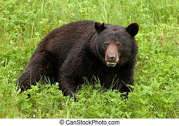 spoczynek, łąka, americanus, Ursus, Niedźwiedź, czarnoskóry,...