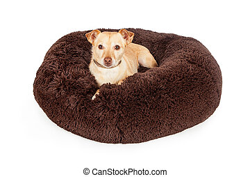 Spoiled Chihuahua Crossbreed Dog on Luxury Bed