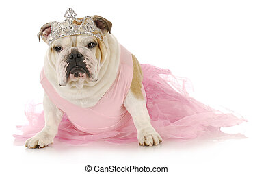 spoiled dog - english bulldog dressed up like a princess in ...