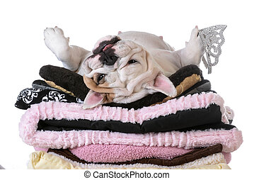 spoiled dog laying on a pile of soft dog beds isolated on ...