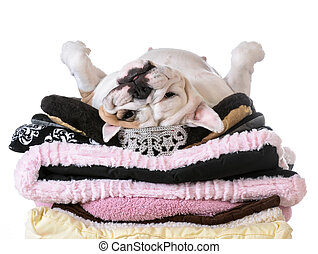 spoiled dog laying on a pile of soft dog beds isolated on...