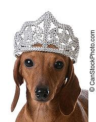 spoiled dog - miniature dachshund wearing tiara on white...
