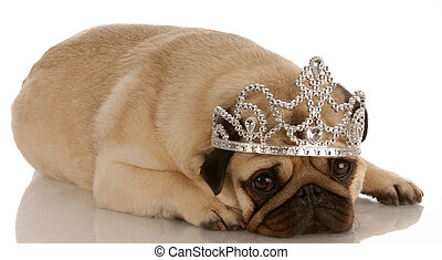 spoiled dog - pug dressed up with tiara