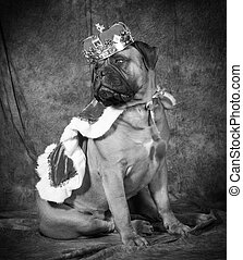 spoiled dog wearing king costume in black and white