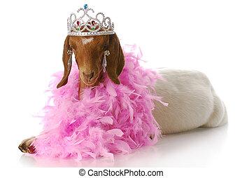 spoiled goat doe - adorable south african boer goat doeling...