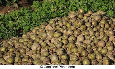 Spoiled rotten potato. Crop failure, bad harvest concept.