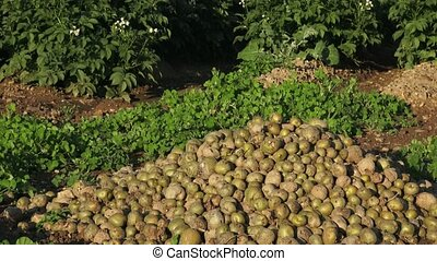 Spoiled rotten potato. Crop failure, bad harvest concept....
