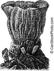 Sponge, vintage engraved illustration
