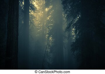 Spooky Dense Forest Fog. Coastal Redwood Forest Covered by...