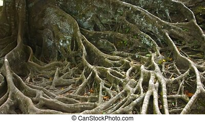"""Spooky, Gnarled Surface Roots of an Enormous Tropical Tree""..."