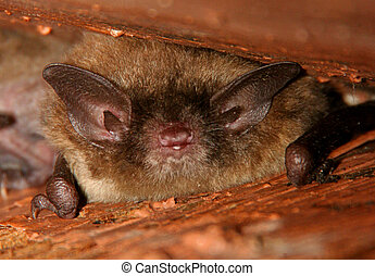 Little Brown Bat - Spooky Little Brown Bat sleeping in the...