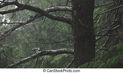 Spooky rainy forest. Two shots.
