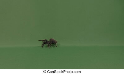 Spooky tarantula spider crawling with his large feet