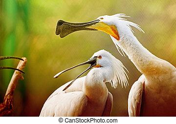 Spoonbill Birds Portrait - Platalea Leucorodia, Kolkata, West Bengal, India
