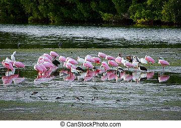 spoonbill roseate, pássaros