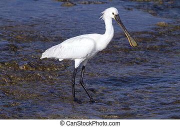 Spoonbill standing in the water looking for food