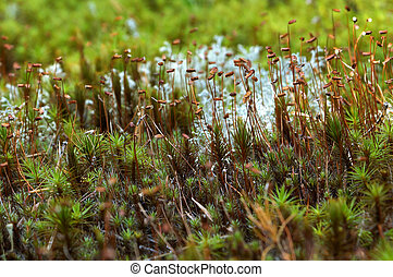 Sporogonia sphagnum moss on thin stems, macro photography -...