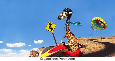 sport, course, jeûne, girafe, équitation, charrette, route