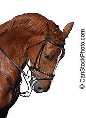 sport, pferd, freigestellt, brauner, porträt, weißes