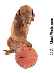 sporting dog - pure breed hunting dog with basketball on ...