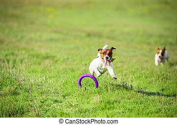 Sportive dog performing during the lure coursing in competition. Pet sport, motion, action, showing, performance concept. Pet's love. Young animal training before performing. Looks strong, purposeful.