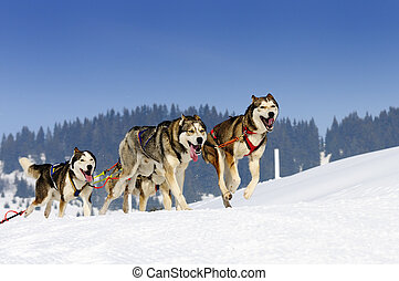sportive dogs - sportive dog team is running in the snow