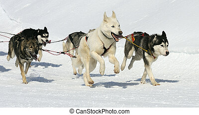 sportive, honden