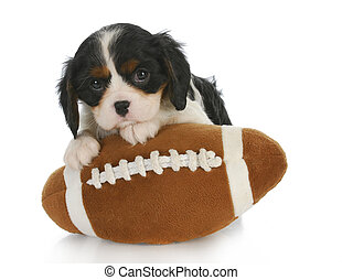 sports hound - adorable cavalier king charles spaniel...