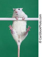 sports rat
