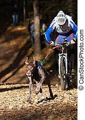 Sports with a dog. Bikejoring. Alaskan Husky